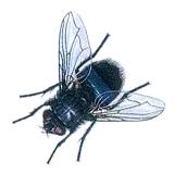 Fleischfliege, Blaue (Schmeißfliege)