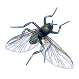 Kriebelmücke